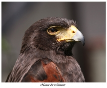 Nature-and-Moments_Harris-Hawk.jpg